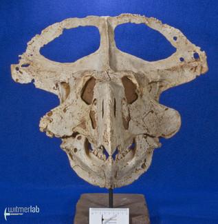 protoceratops_DSC_2213.JPG