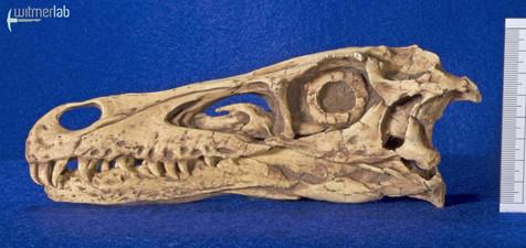 velociraptor_gaston_DSC_8039.JPG