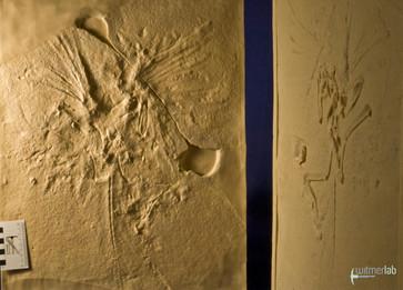 archaeopteryx_lith_DSC_8077.JPG
