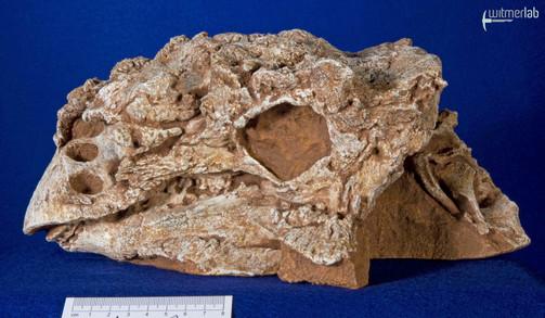pinacosaurus_large_DSC_6919.JPG