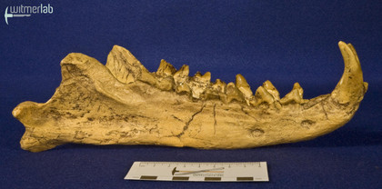 hyaenodon_DSC_0309.JPG
