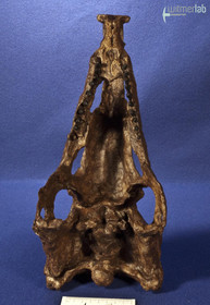desmatosuchus_DSC_1765.JPG