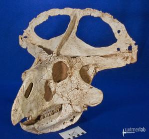 protoceratops_DSC_2236.JPG