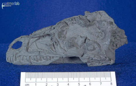 eoraptor_DSC_7532.JPG