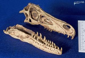 velociraptor_gaston_DSC_8101.JPG