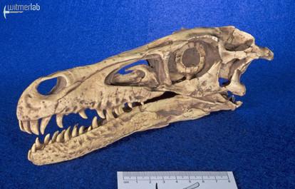 velociraptor_gaston_DSC_8031.jpg