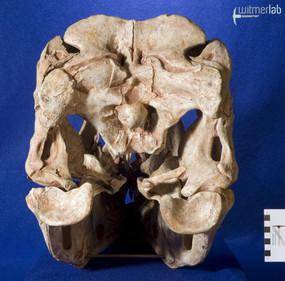 tarbosaurus_DSC_9143.JPG