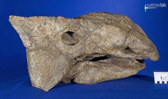 ankylosaurus_DSC_7100.JPG