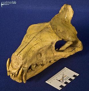 hyaenodon_DSC_0234.JPG