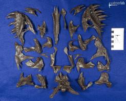 tyrannosaurus_stan_DSC_8885.JPG