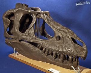 gorgosaurusROM_DSC_1471.JPG