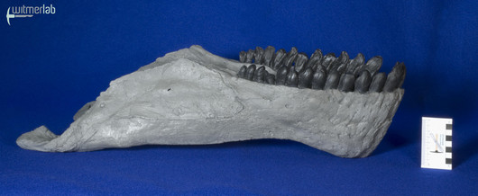 Camarasaurus_grandis_DSC_0479.jpg