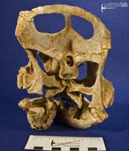 archaeoceratops_DSC_1389.JPG