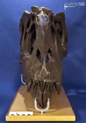 gorgosaurusROM_DSC_1478.JPG