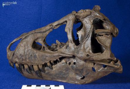 tyrannosaurus_stan_DSC_8813.JPG