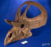 zuniceratops_DSC_2579.JPG
