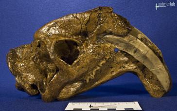 thylacosmilus_DSC_0617.JPG