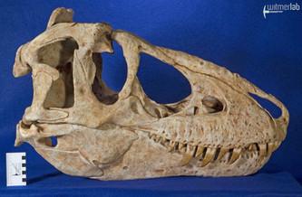 tarbosaurus_DSC_9119.JPG