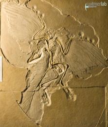 archaeopteryx_DSC_8255.JPG