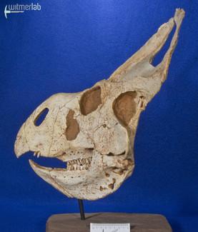 protoceratops_DSC_2205.JPG
