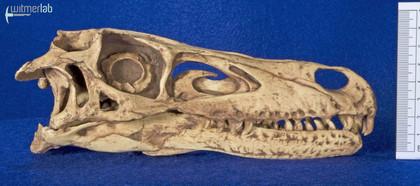 velociraptor_gaston_DSC_8047.JPG