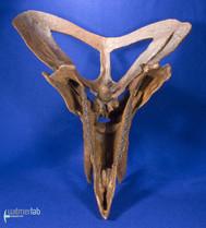zuniceratops_DSC_2524.JPG