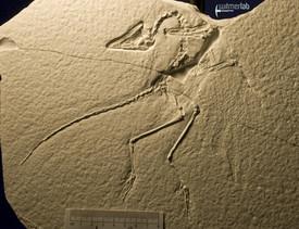 archaeopteryx_sp_DSC_8535.JPG