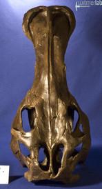 edmontosaurus_DSC_1042.JPG