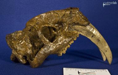 thylacosmilus_DSC_0665.JPG