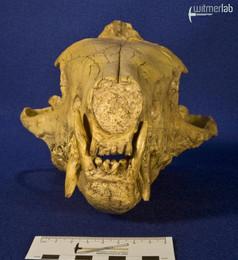 hyaenodon_DSC_0290.JPG