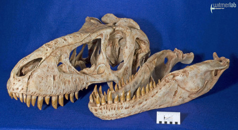 tarbosaurus_DSC_9170.JPG