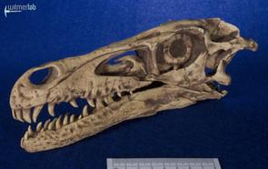 velociraptor_gaston_DSC_8030.JPG