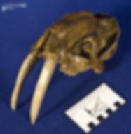 thylacosmilus_DSC_0607.JPG