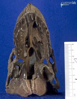 Dromaeosaurus_DSC_8481.JPG
