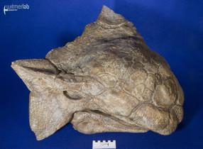 ankylosaurus_DSC_7068.JPG