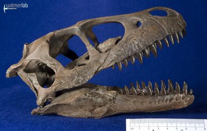 Dromaeosaurus_DSC_8498.JPG