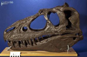 gorgosaurusROM_DSC_1458.JPG