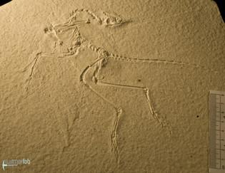 archaeopteryx_sp_DSC_8556.JPG
