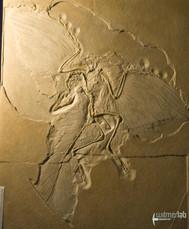 archaeopteryx_DSC_8222.JPG