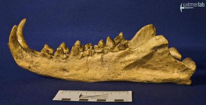 hyaenodon_DSC_0315.JPG