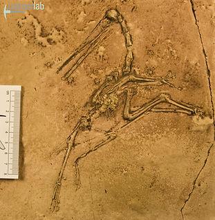 pterodactylus_DSC_8201.JPG
