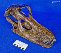 Diplodocus_Juvenile_DSC_0350.JPG
