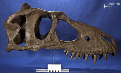 gorgosaurusROM_DSC_1527.JPG