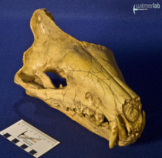 hyaenodon_DSC_0214.JPG