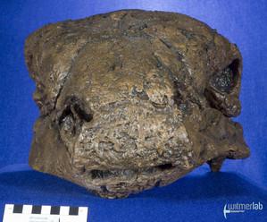 Panoplosaurus_DSC_7464.JPG