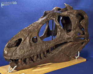 gorgosaurusROM_DSC_1466.JPG