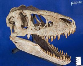 tarbosaurus_DSC_9075.JPG