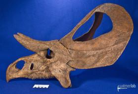 zuniceratops_DSC_2510.JPG