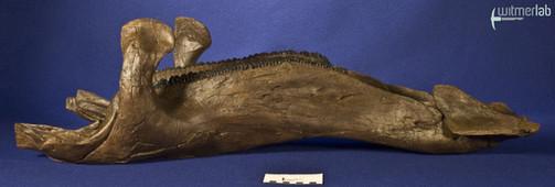 edmontosaurus_DSC_1062.JPG