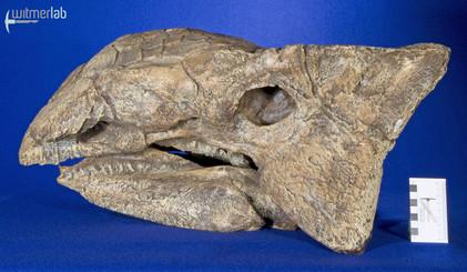 ankylosaurus_DSC_7105.JPG